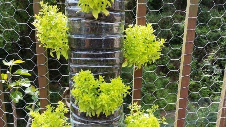 basil grown vertically