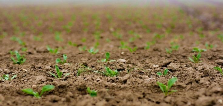 beet seedlings emerging