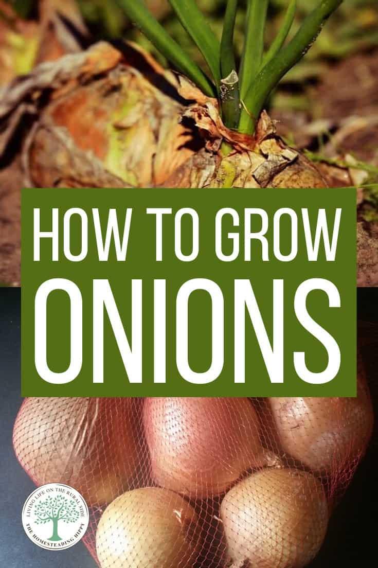 growing onions pin