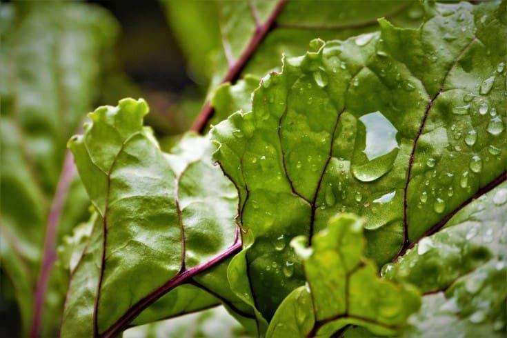 watered beetroot leaves