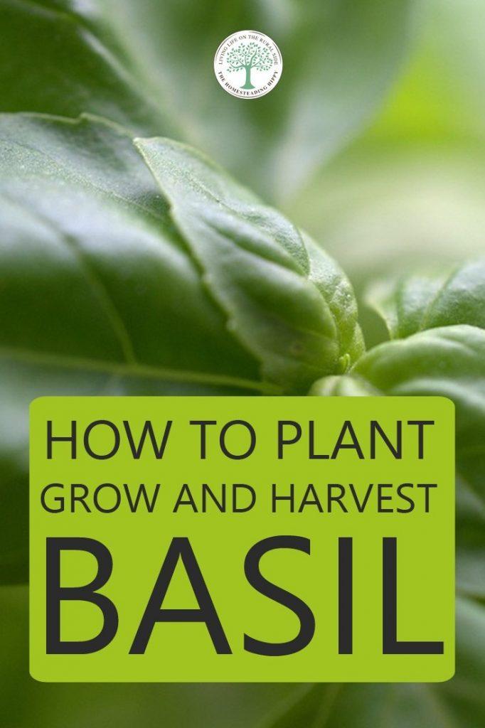 growing basil pin