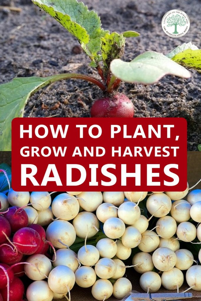 growing radishes pin
