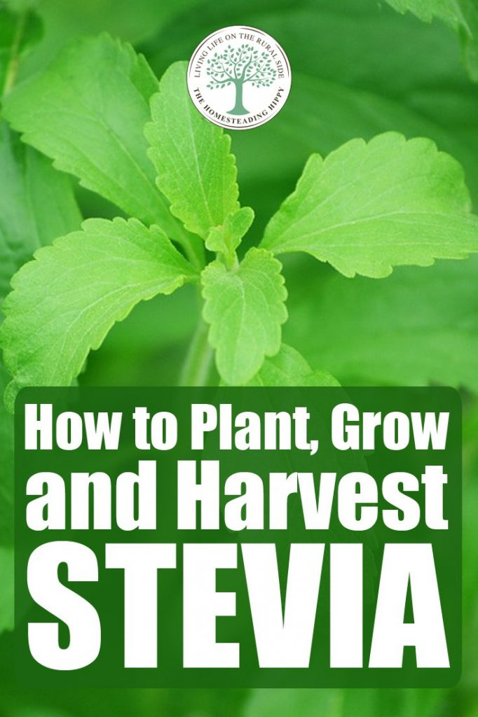 growing stevia pin