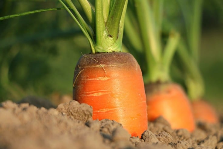 carrot ready to be harvested