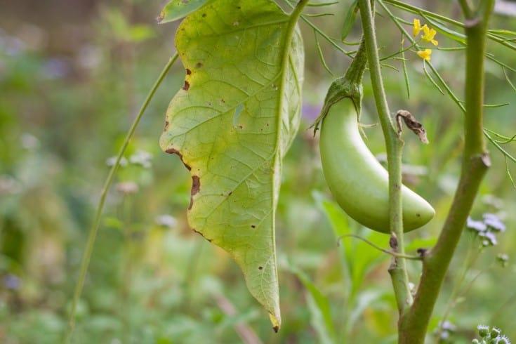 green eggplant fruit