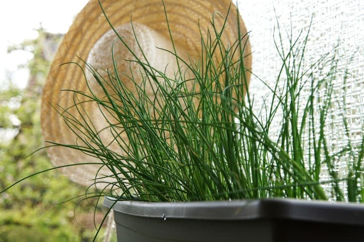 chives in containers