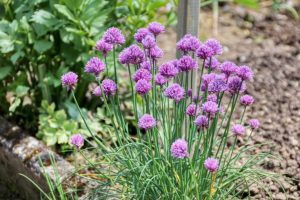 chives plants