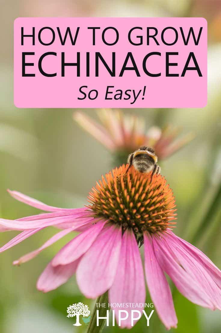Echinacea pin