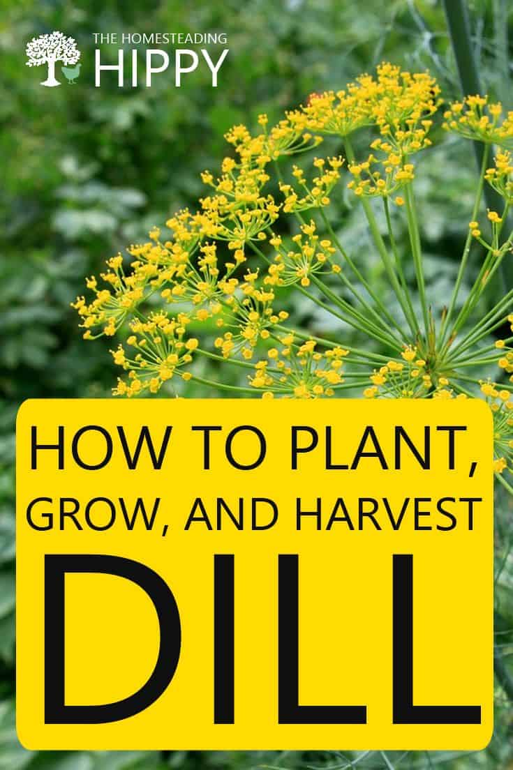 growing dill pin