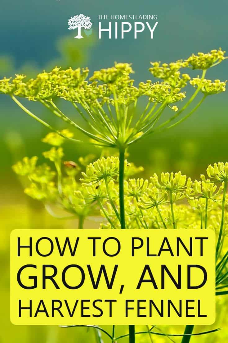how to grow fennel pin