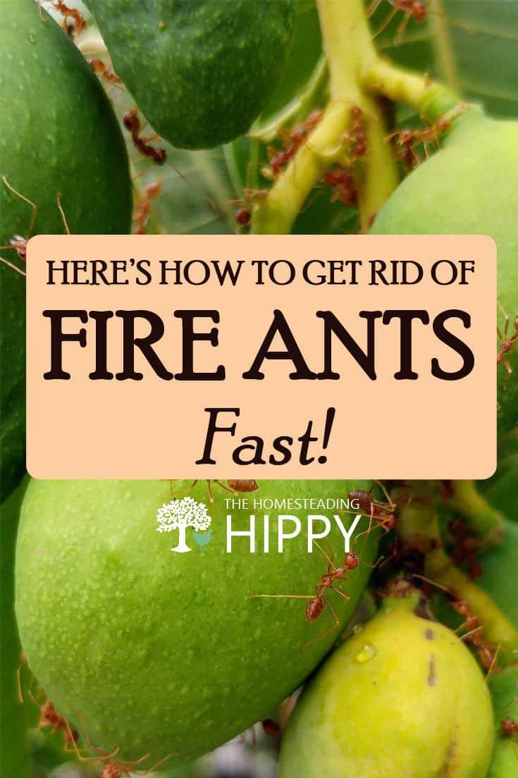 fire ants pinterest