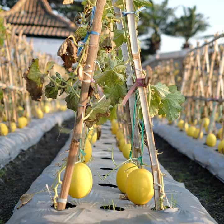 honeydew melons tied to wooden stakes