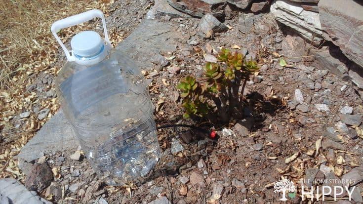 Mini Drip  Watering Crassula ovata 'Baby Jade'