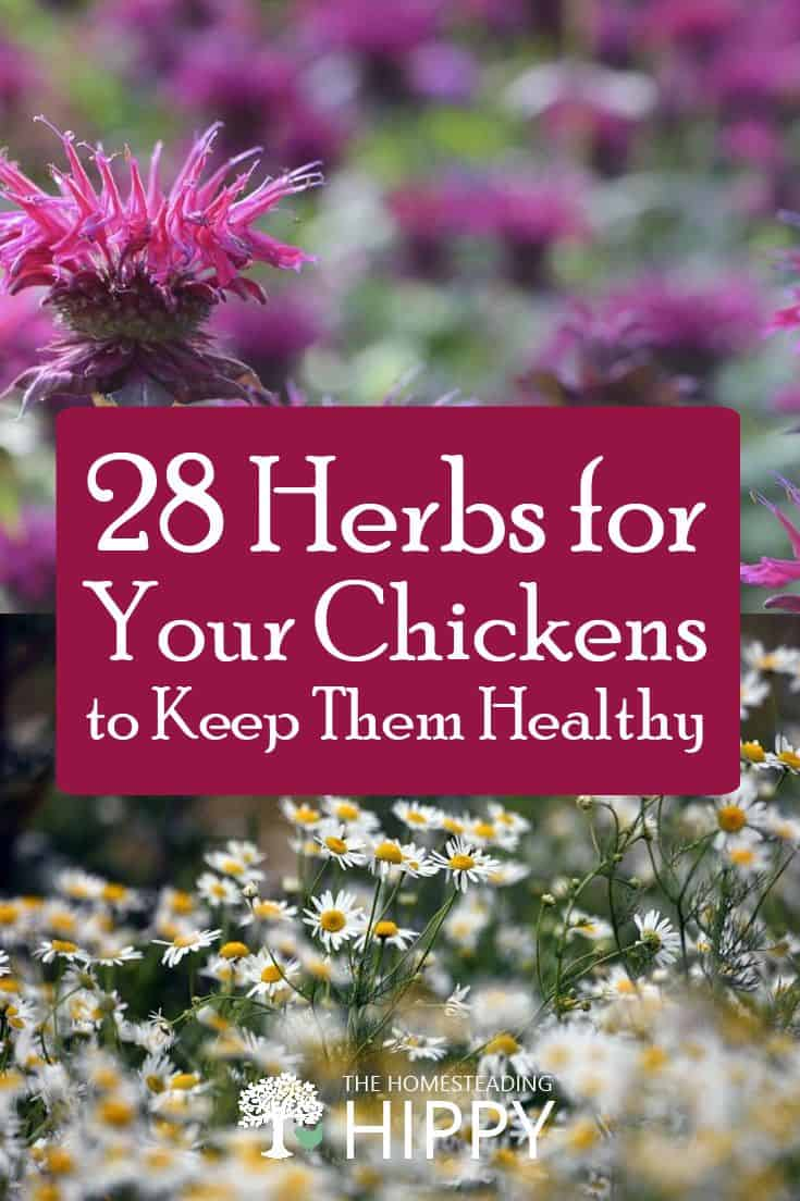 herbs for chickens pin