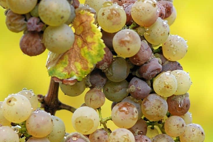 gray mold on grapes