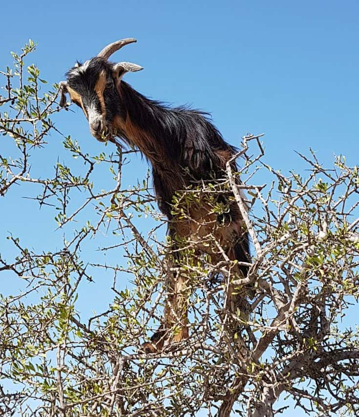 goat up in a tree