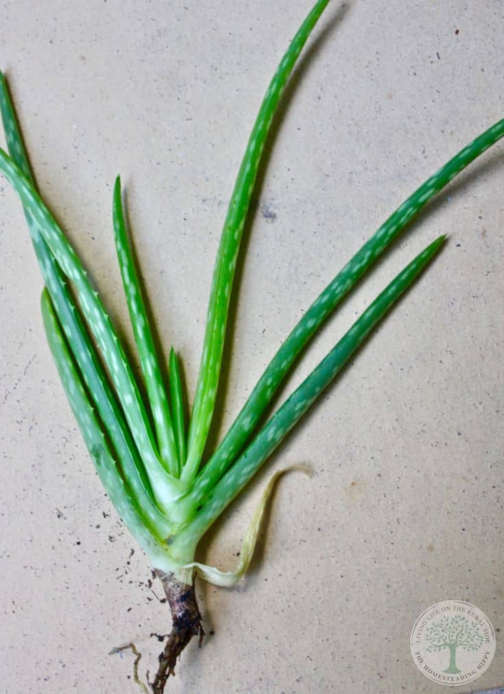 Small Aloe vera, removed from parent and ready to plant