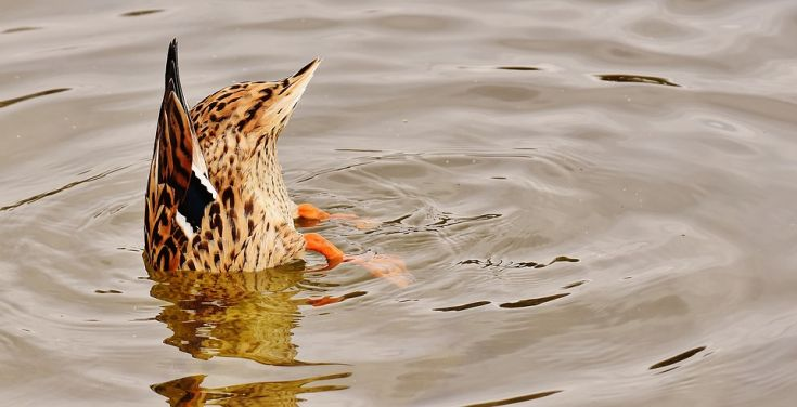 duck bottoms up in water