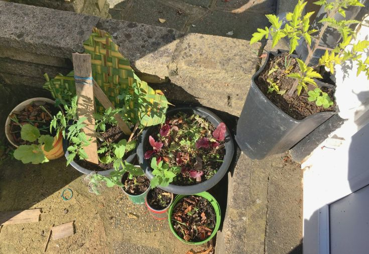 permaculture companion plants in pots