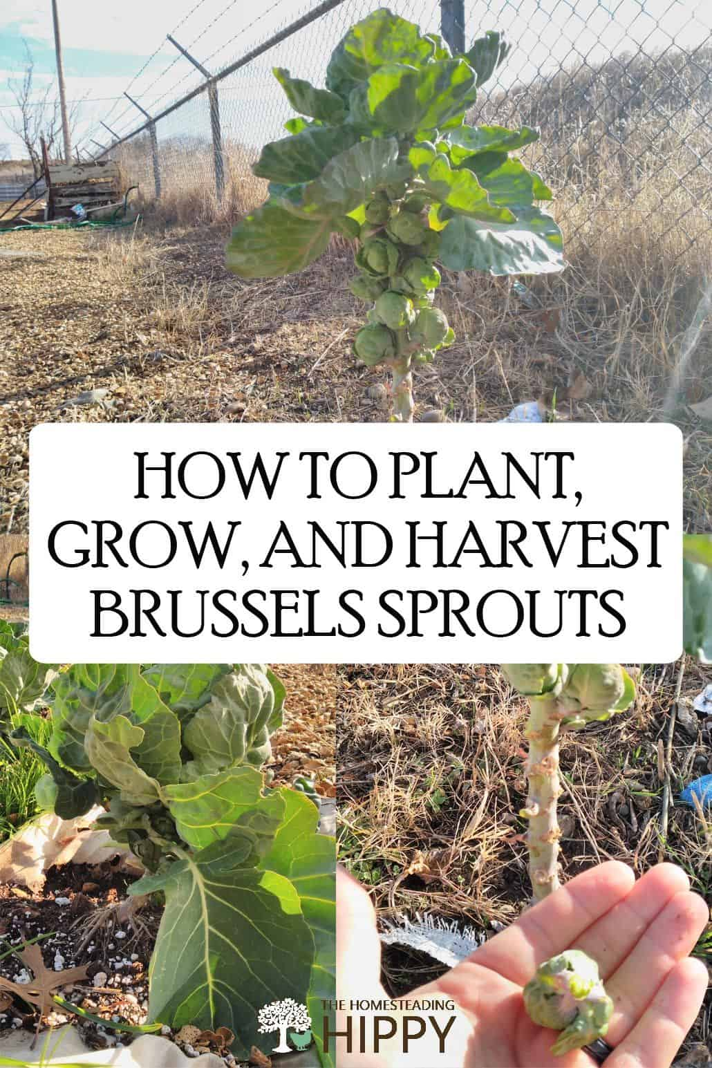 growing Brussels sprout pin