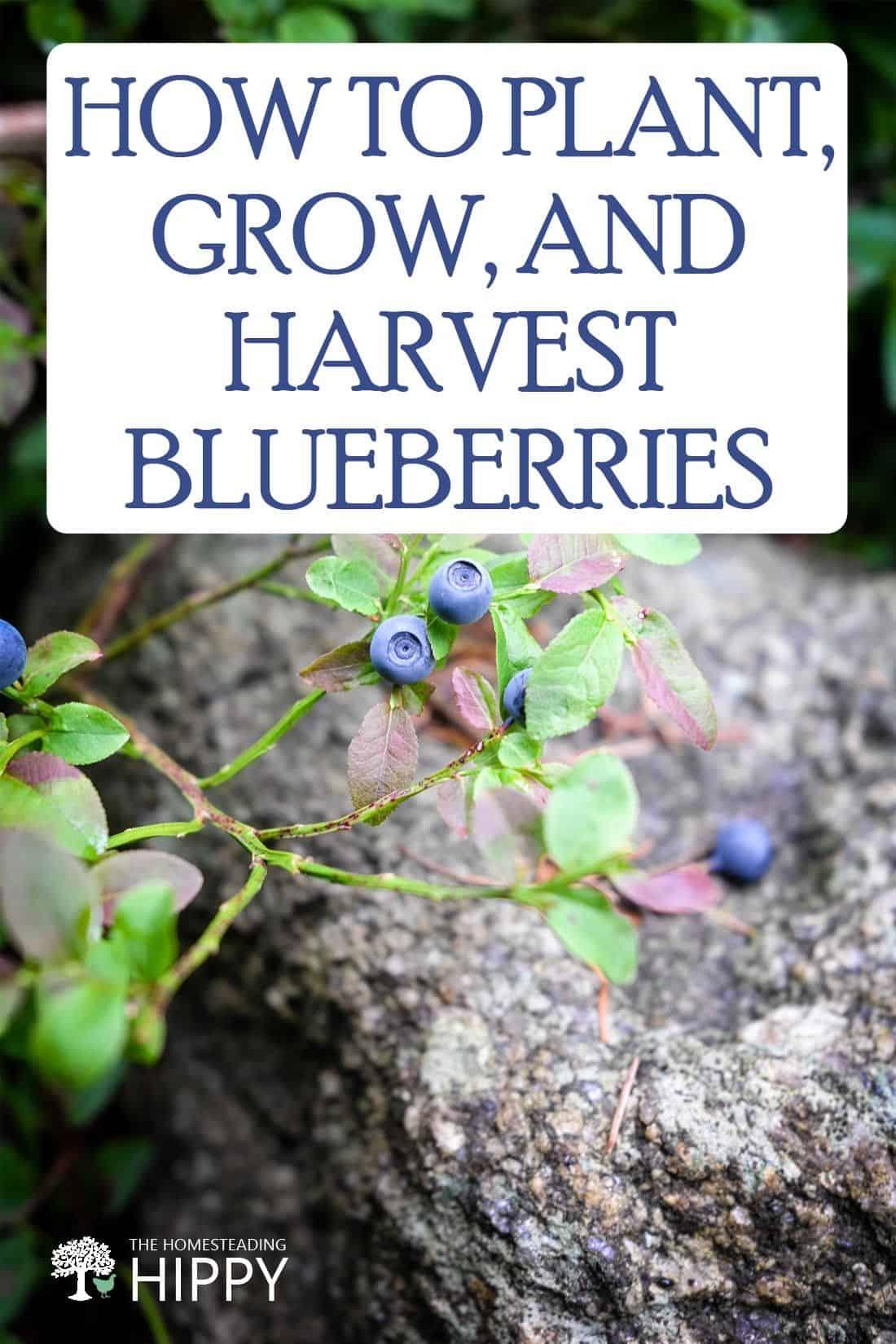 growing blueberries pin