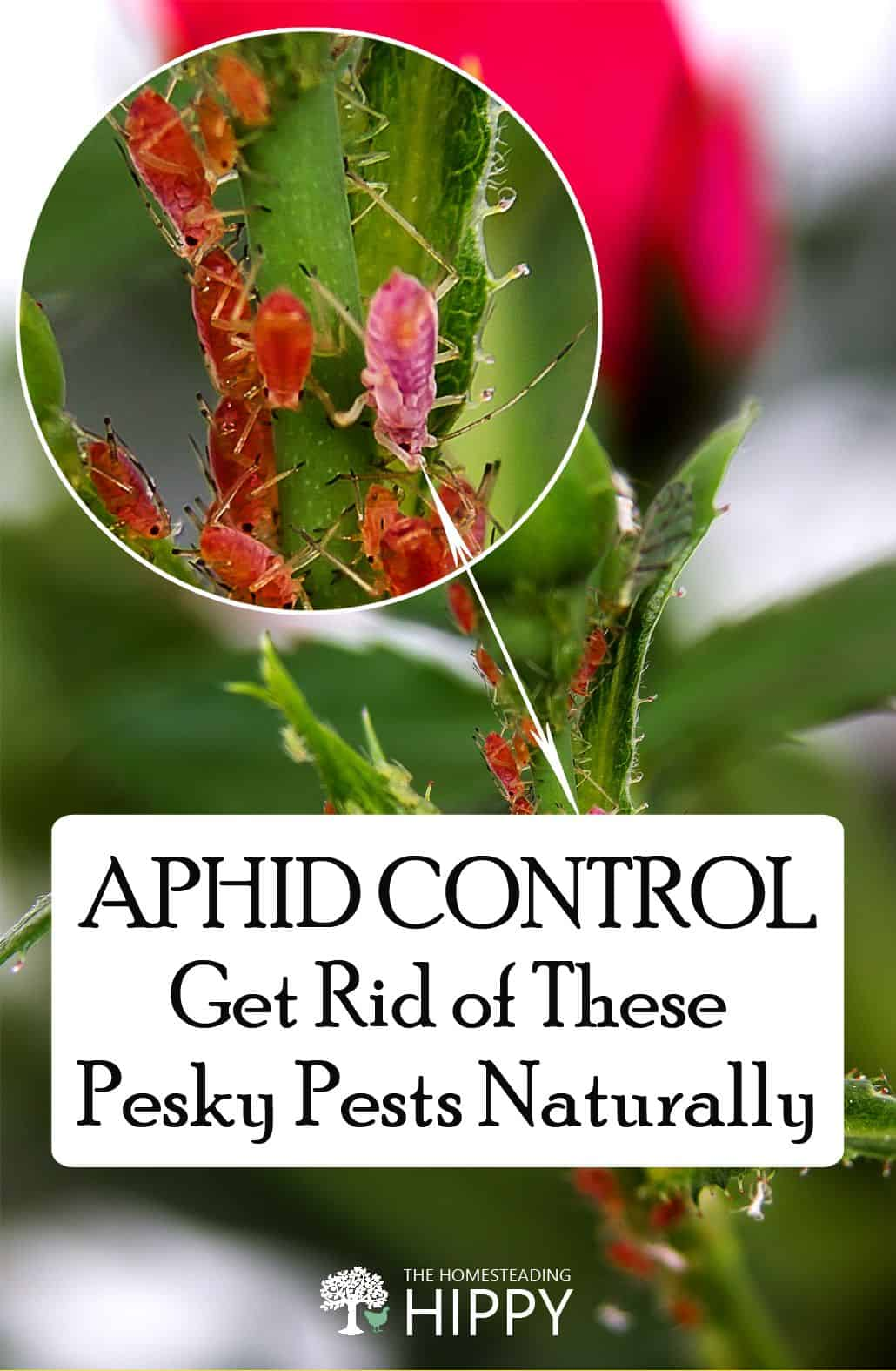 aphids pin