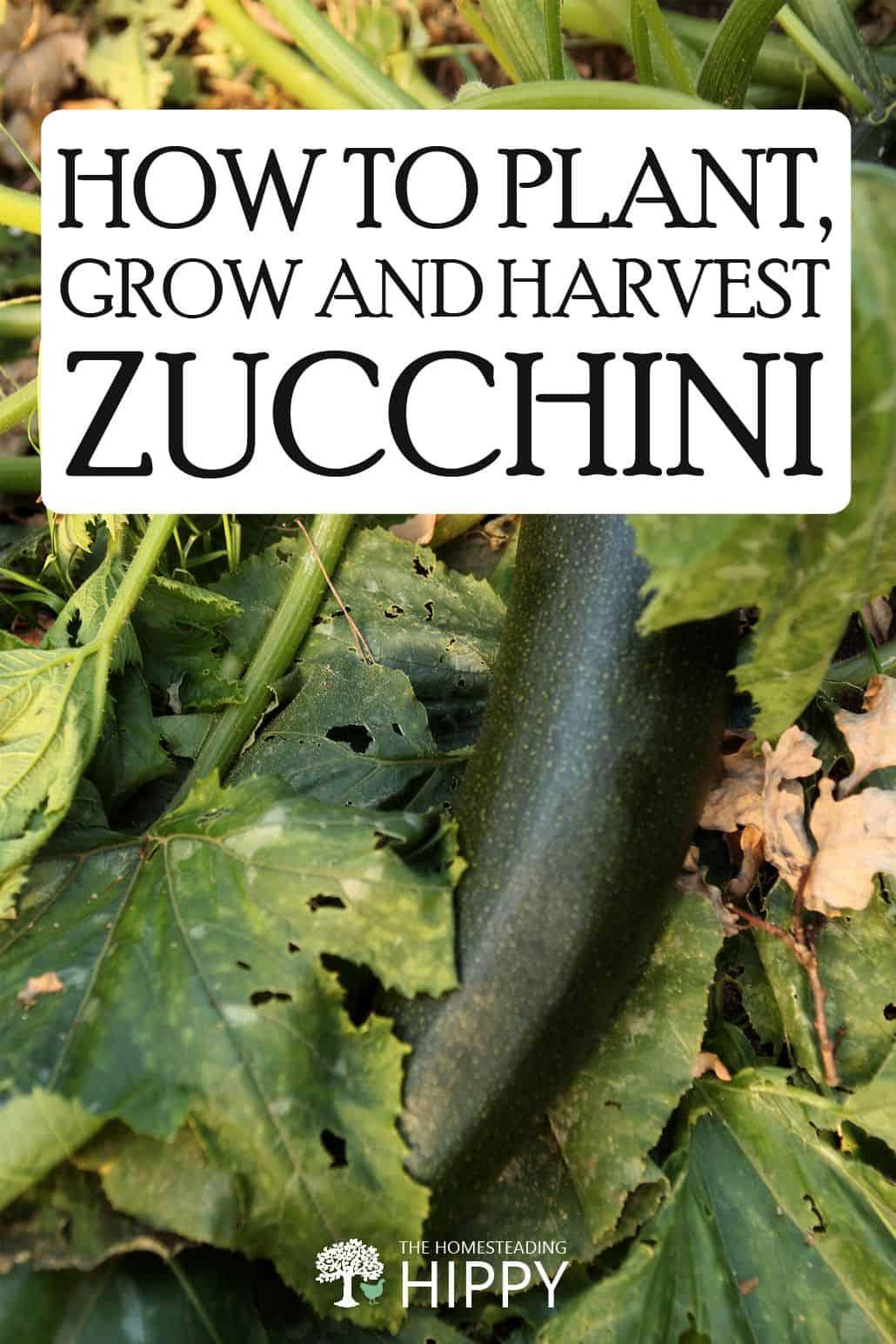 growing zucchini pin