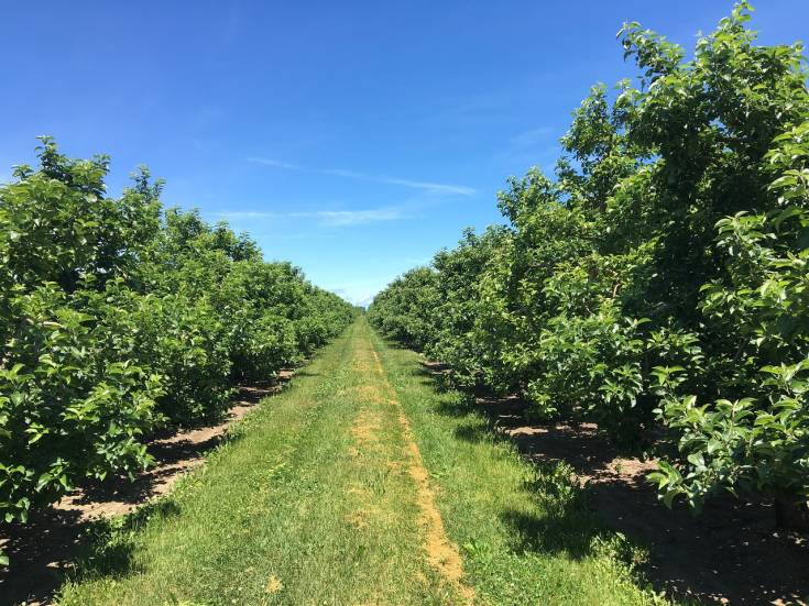 apple tree orchard