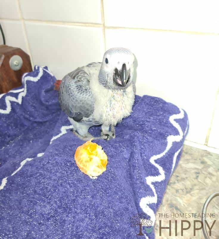 parrot next to orange