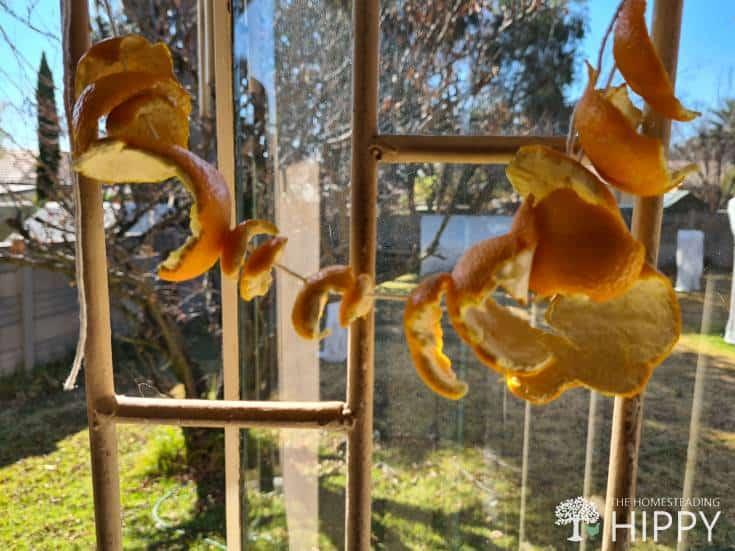 orange peels hung from window