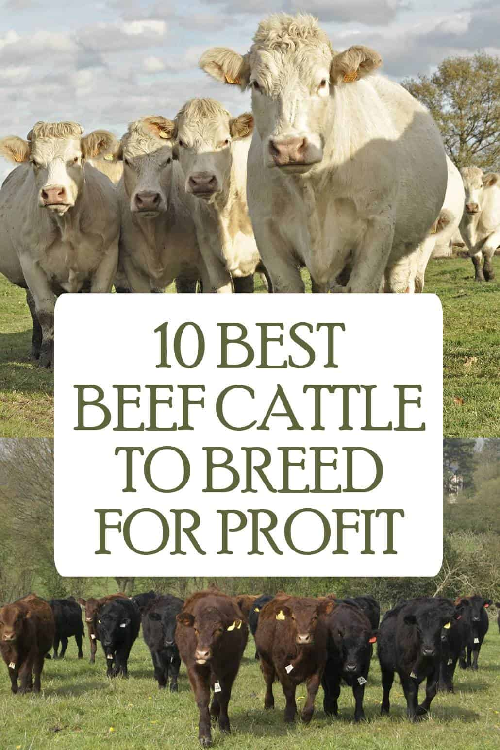 beef cattle pin