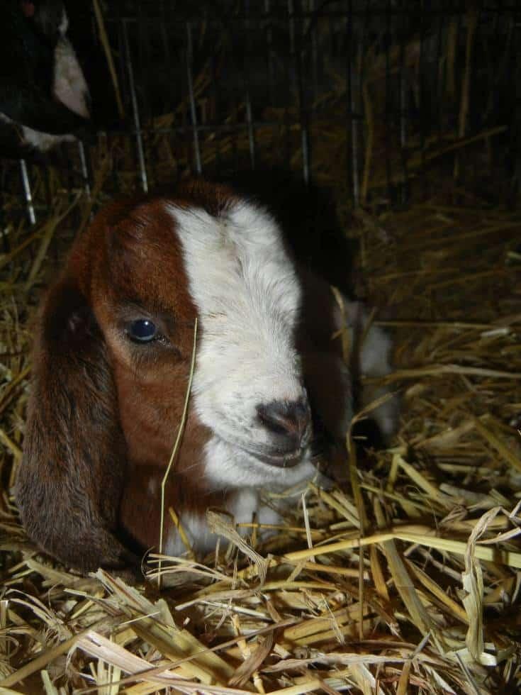 boer goat baby