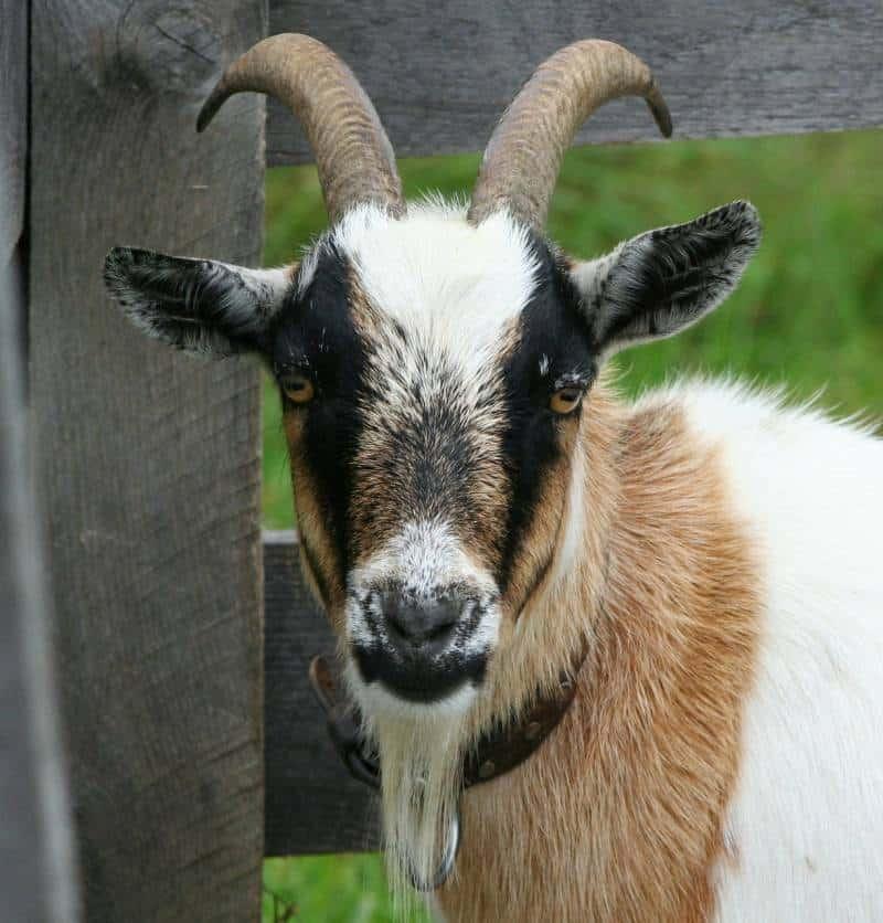male boer goat