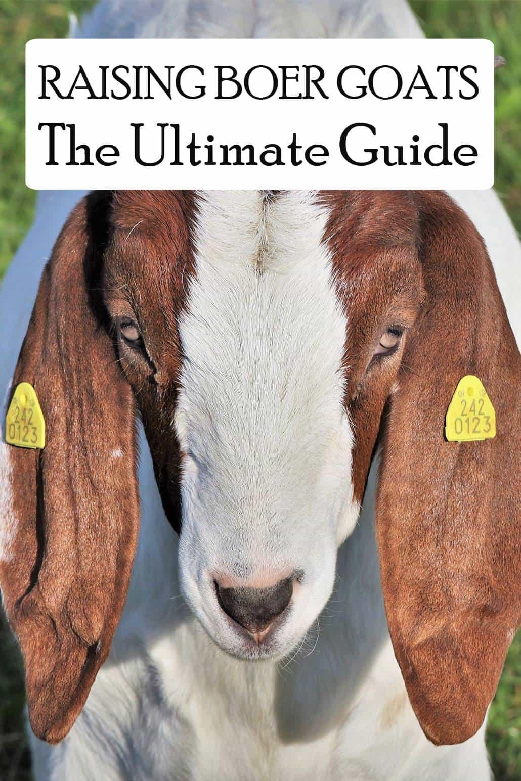Boer goats pin