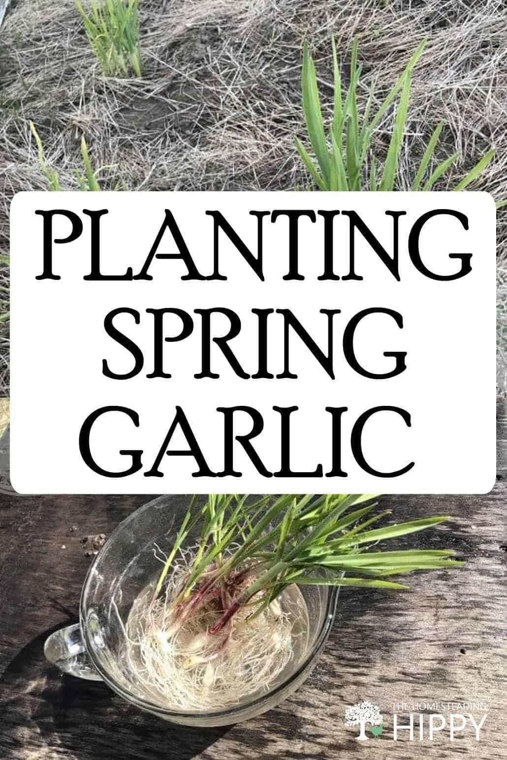 spring garlic pin