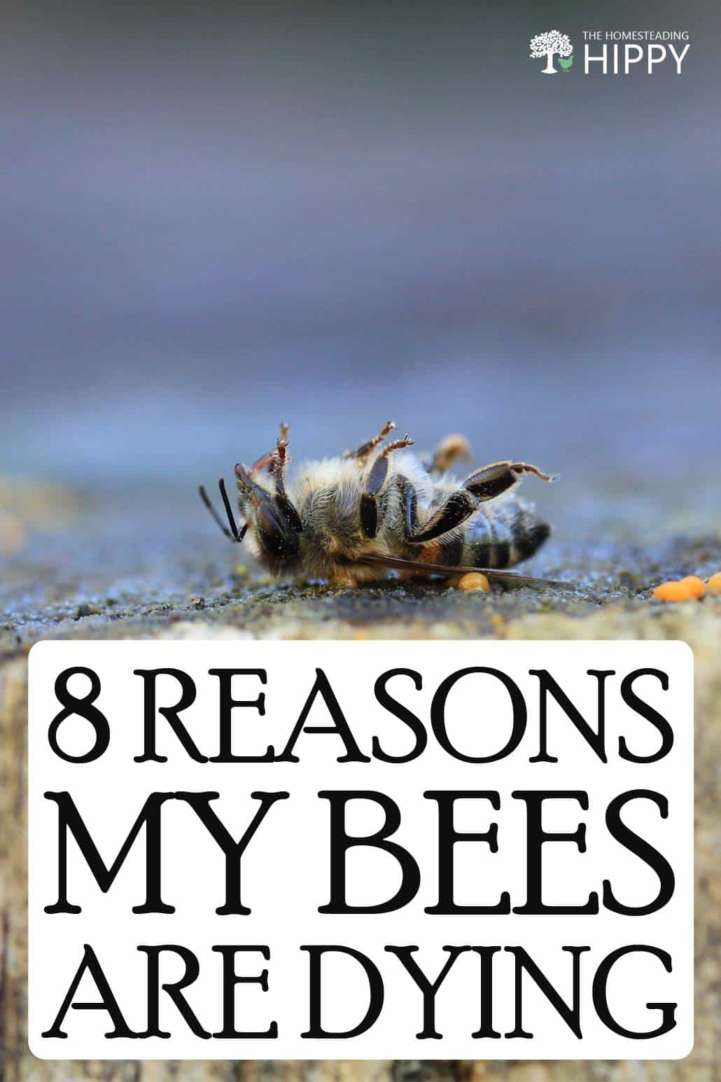 why bees are dying pin