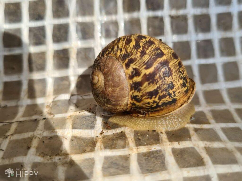 snail on plastic tarp in garden